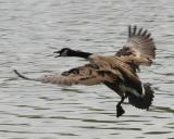 Canada goose landing-1