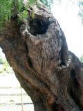 Pepper Tree Trunk