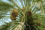 Date palm, Ajman