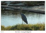 Blue Heron at the Sunnyvale Baylands