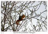 Squirrel having a green breakfast