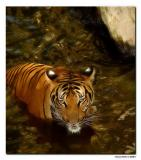 Fort Worth Zoo. IndoChinese/Malayan Tiger.jpg