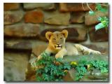 Fort Worth Zoo Lion Cub-01_Neat Image.jpg