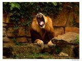 Fort Worth Zoo Lion.jpg