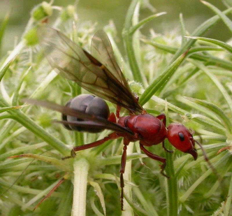 Winged female (queen) ant, probably <i>Formica sp.</i>