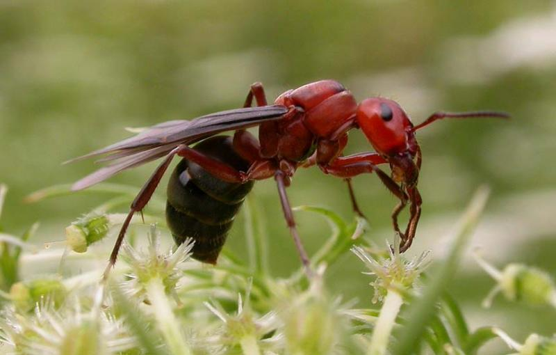 Winged female (queen) ant, probably <i>Formica sp. </i>