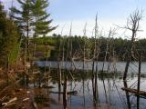 Cedar trees in beaver-flooded pond