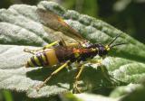 Tenthredo basilaris Say - Tenthredinidae - sawfly