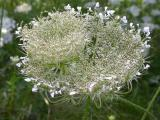 cup-and-saucer of Queen Anne's Lace