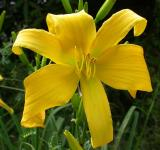 old-fashioned lemon lily