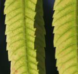 Leaf Edges (*)