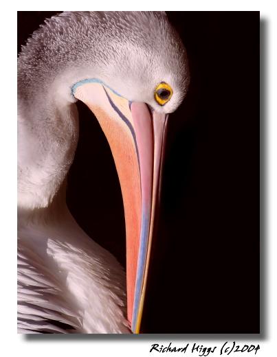Pink Pelican<br> by Richard Higgs