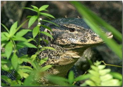 Water Monitor Lizard - up close and personal