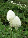 Beargrass Stalks