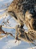 Drops of blood forming on its fur the vole is helpless in grasp of the Great Grays powerful talons.