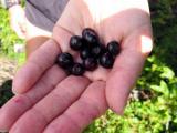 Yum...huckleberries!