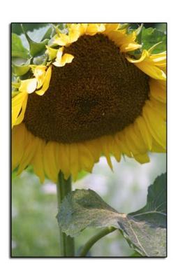 : ME Sunflower :