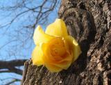 Roses 2003