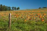 Pumpkin Patch on Blue Ridge Parkway, Virginia