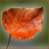 The dead leaf (2)