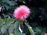 pink puff.jpg