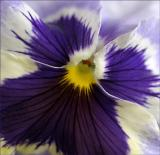 pansy2.