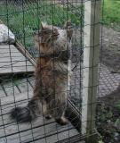 The neigbors thought that Kryyni is a lynx kitten!! Naapurit luulivat Kryyniä ilveksen poikaseksi.