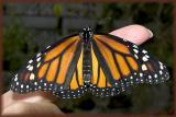 Monarch two