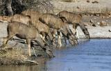 Tau - Kudu drinking