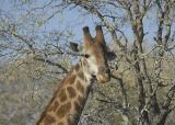 Giraffe with Dandruff