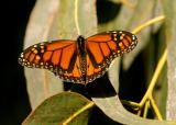 monarch female