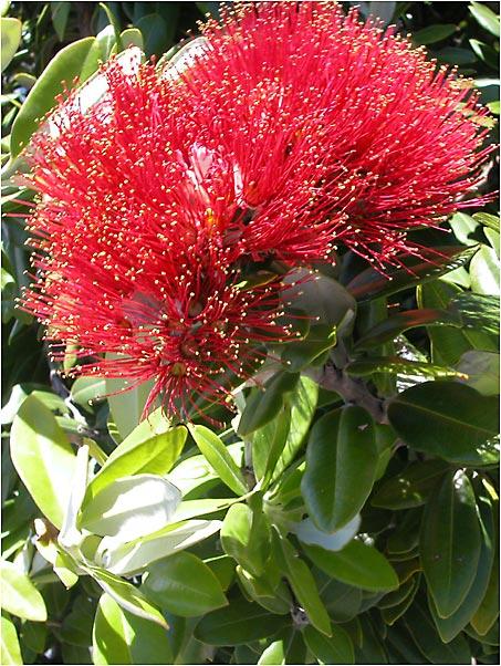 Pohutakawa Flower on Xmas Day