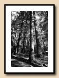 Tall Trees Monochrome