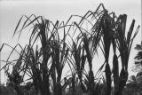 Pandanus Harvested for Thatch