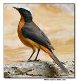 White-crowned Robin Chat