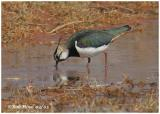 Northern Lapwing-Male