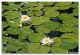Nénuphars / Water Lilies