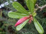 Desert Rose flower bud in rain