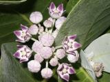 Mauve Crown flowers (Calotopis gigantea)