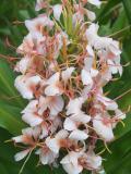 Kahili ginger (Hedychium gardnerianum)