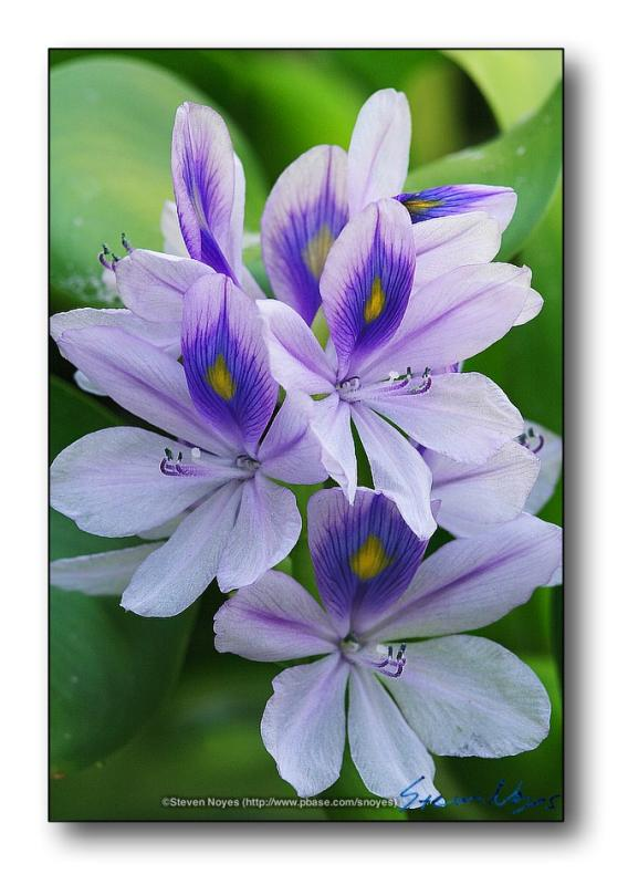 Water Hyacinth  : Week 7