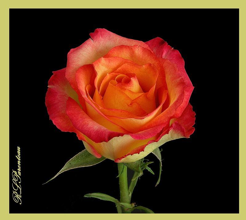 Rose Aniv 03.jpg