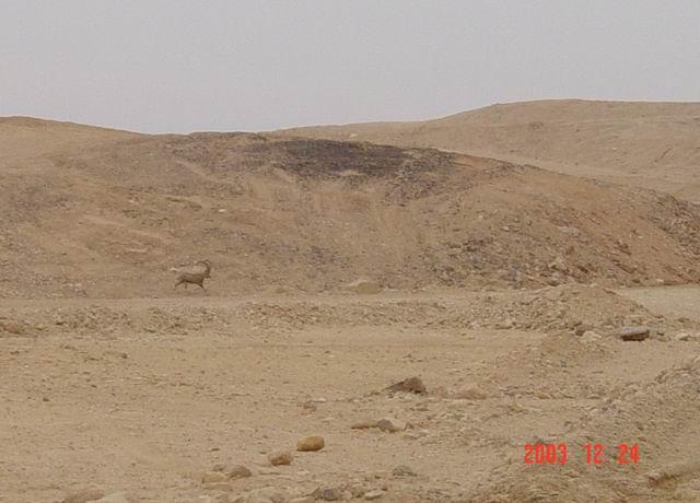 gazelle in the negev