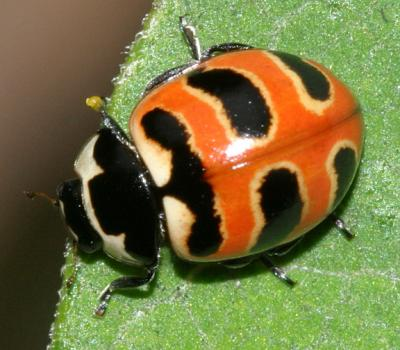 Beetles - Coleoptera Photo Gallery by Tom Murray at pbase com
