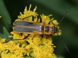 Goldenrod Soldier Beetle - Chauliognathus pennsylvanicus