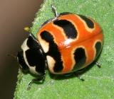 Beetles - Coleoptera