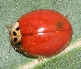 spotless Multicolored Asian Lady Beetle - Harmonia axyridis