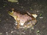 Female Bullfrog