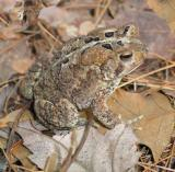 American Toad 1st yr.