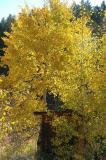 Our pumphouse with aspen in autumn DSC_0010.jpg
